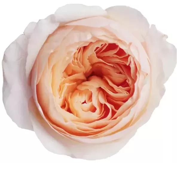 "Букет роз ""Роза Шекспира"" - фото 2"