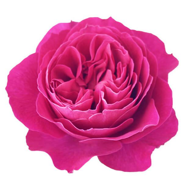 """Букет роз от Дэвида Остина """"Кэйт"""" - фото 2"""