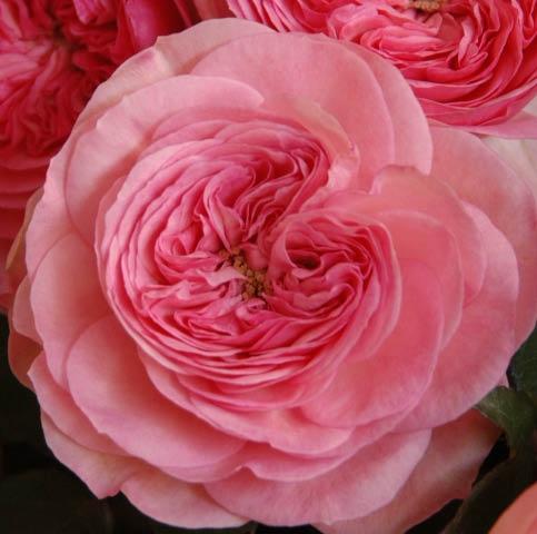 """Букет роз от Дэвида Остина """"Мария Тереза"""" - фото 2"""