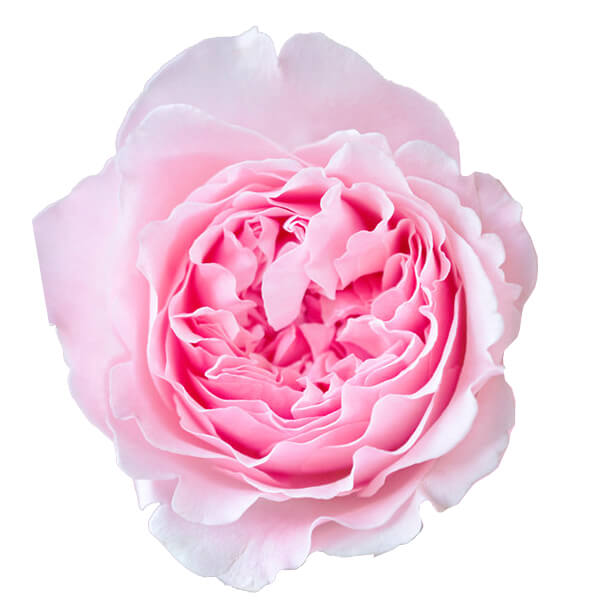 """Букет роз от Дэвида Остина """"Миранда"""" - фото 2"""